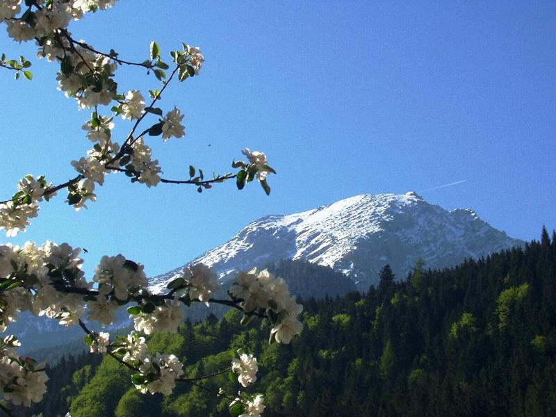 Apfelblüte vor Watzmann