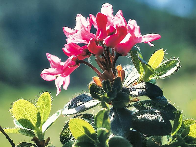 Der Almrausch, auch Bewimperte Alpenrose genannt