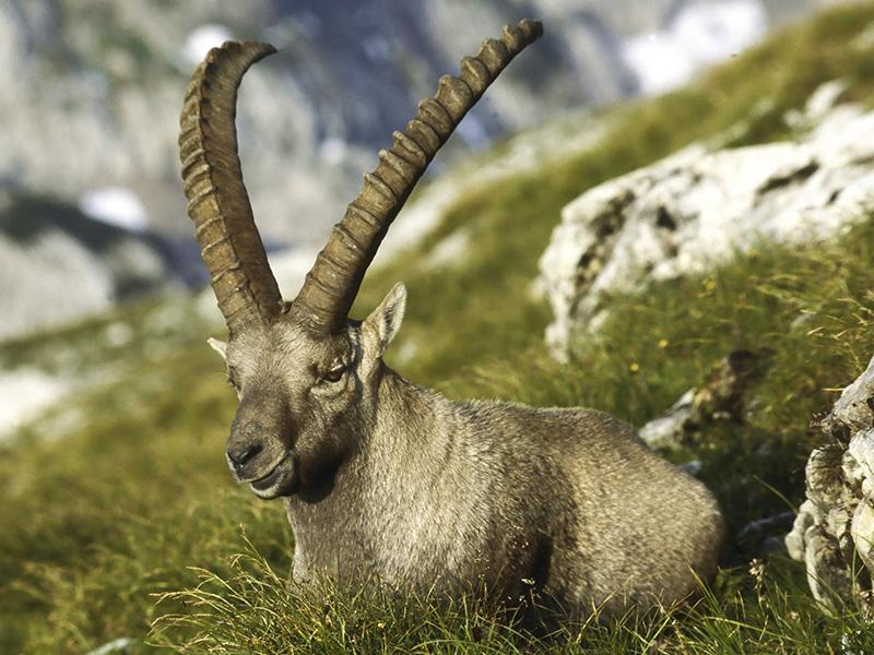 Ibex in the Hagengebirge